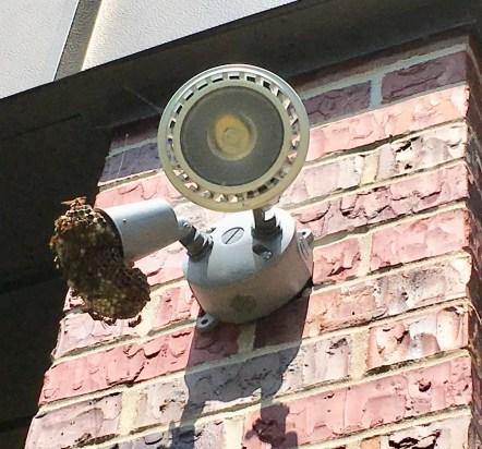Paper wasps built a nest where a light fixture is missing.