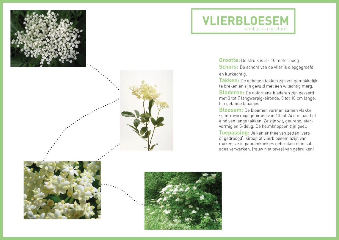 Vlierbloesem - groene avonturen