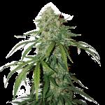 CBD Silver Lime Haze Autoflower