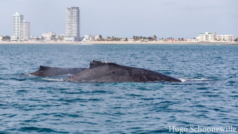 Salinas walvissen