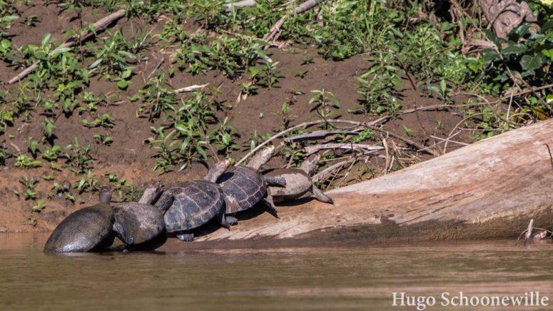 Schildpadden Manu