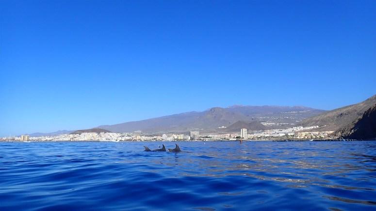 Dolfijnen voor de kust van Los Cristianos op Tenerife.
