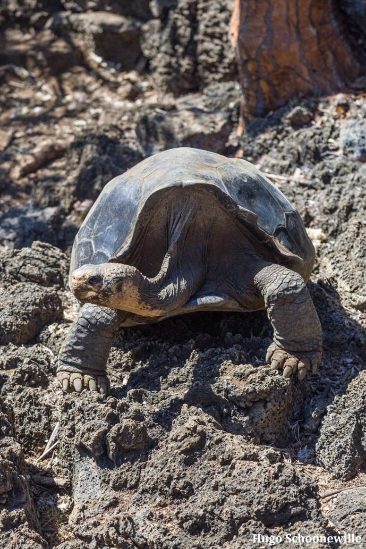 Wat te doen op Santa Cruz: een reuzeschildpad in het Charles Darwin Research Station.