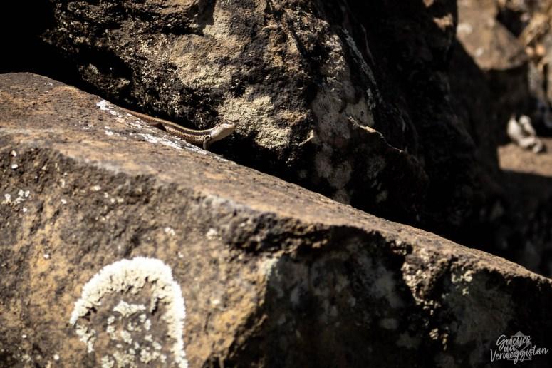 Hagedis op een rots in Kaapverdië.