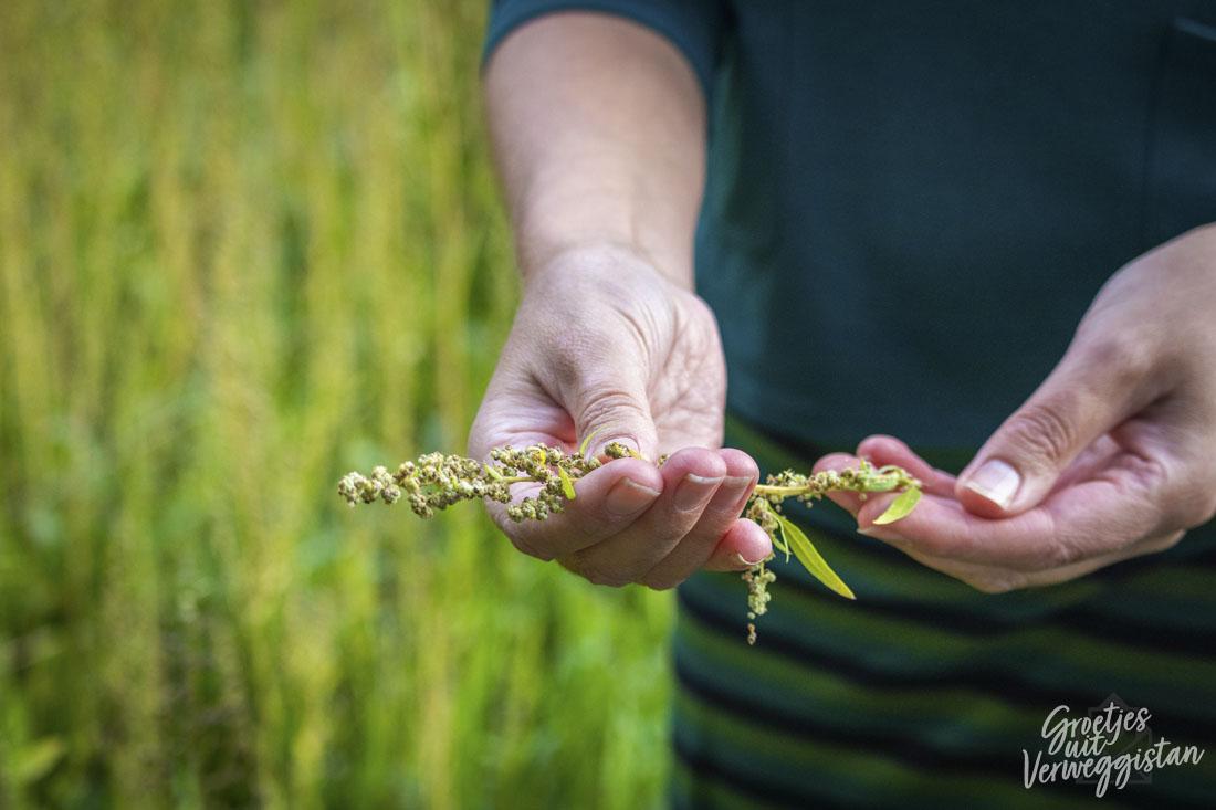 De Nederlandse vervanger voor quinoa
