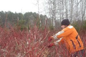 Jon clipping red osier dogwood