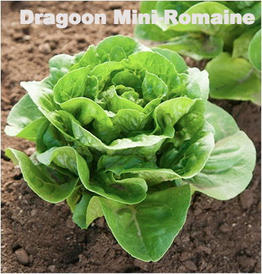Variety: Romaine Name: Dragoon Color: Green Size: Small, Compact Mini Romaine, Heavy Uniform Leaves Taste: Excellent Crisp Texture
