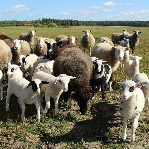 Gröna Hagars får och lamm