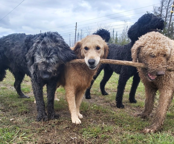 3 dogs carrying a stick.  Middle dog is looking at the camera.