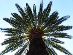 jual pohon kurma ajwa