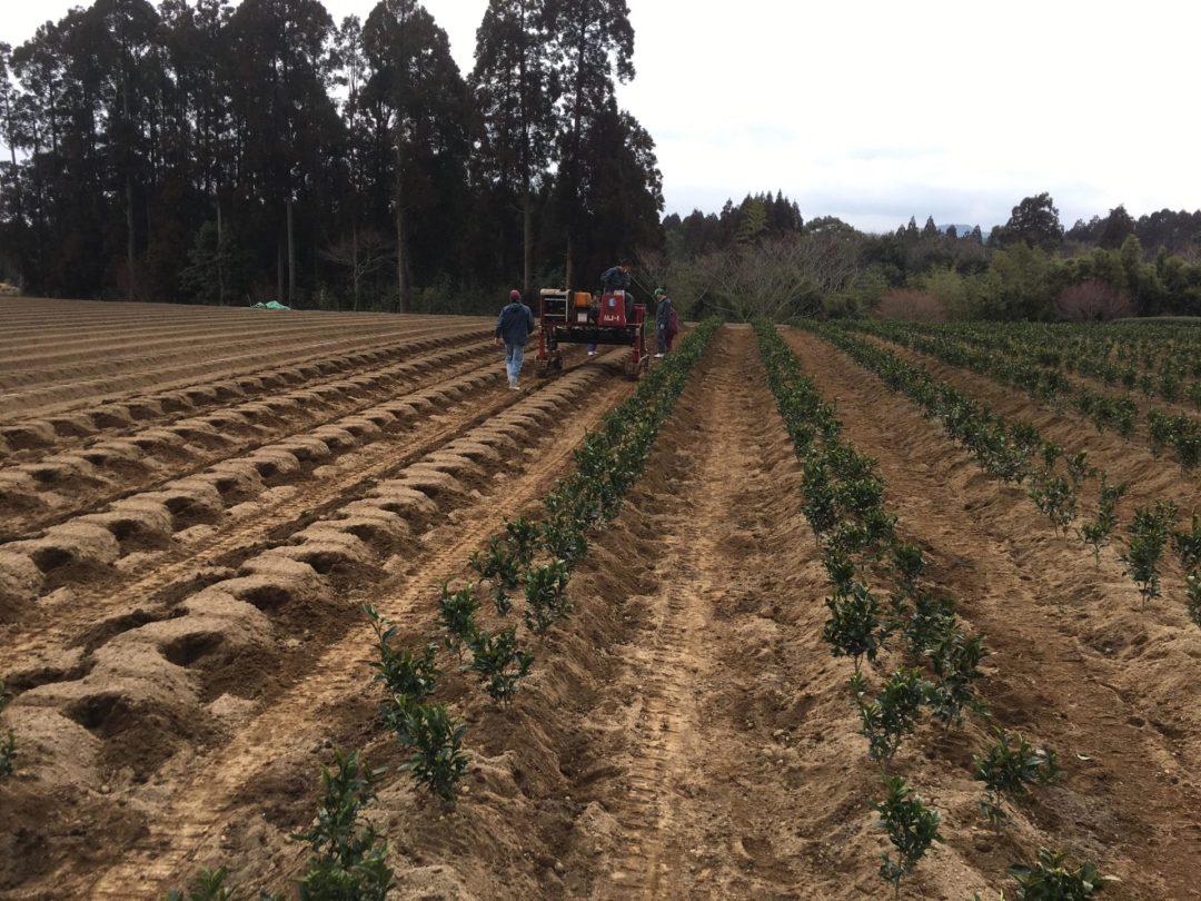 transplanting Haruto cultivar tea 3