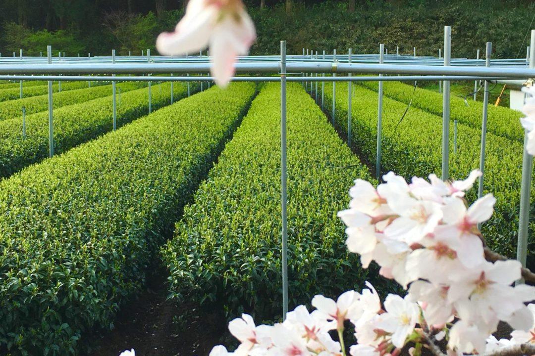 Spring in Katoshima Tea Garden