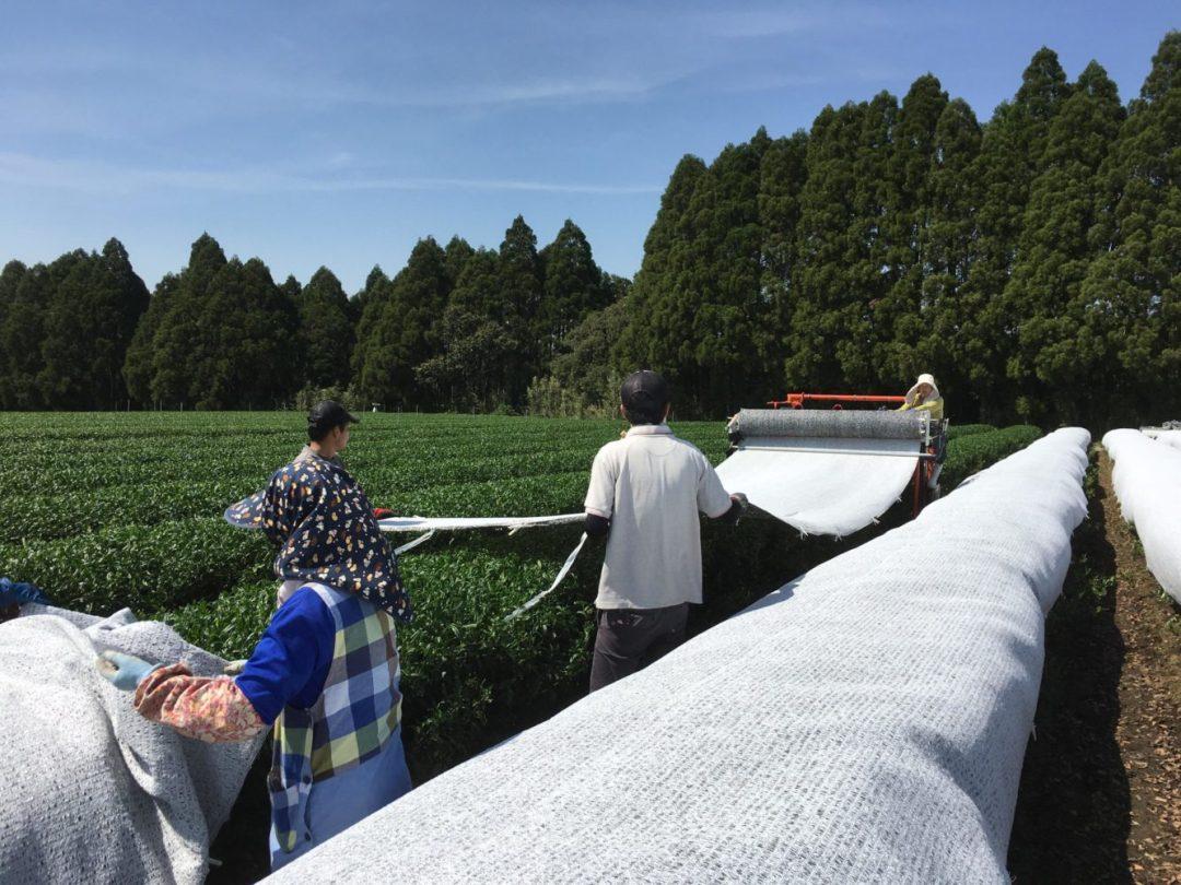 Kagoshima Gyokuro tea garden