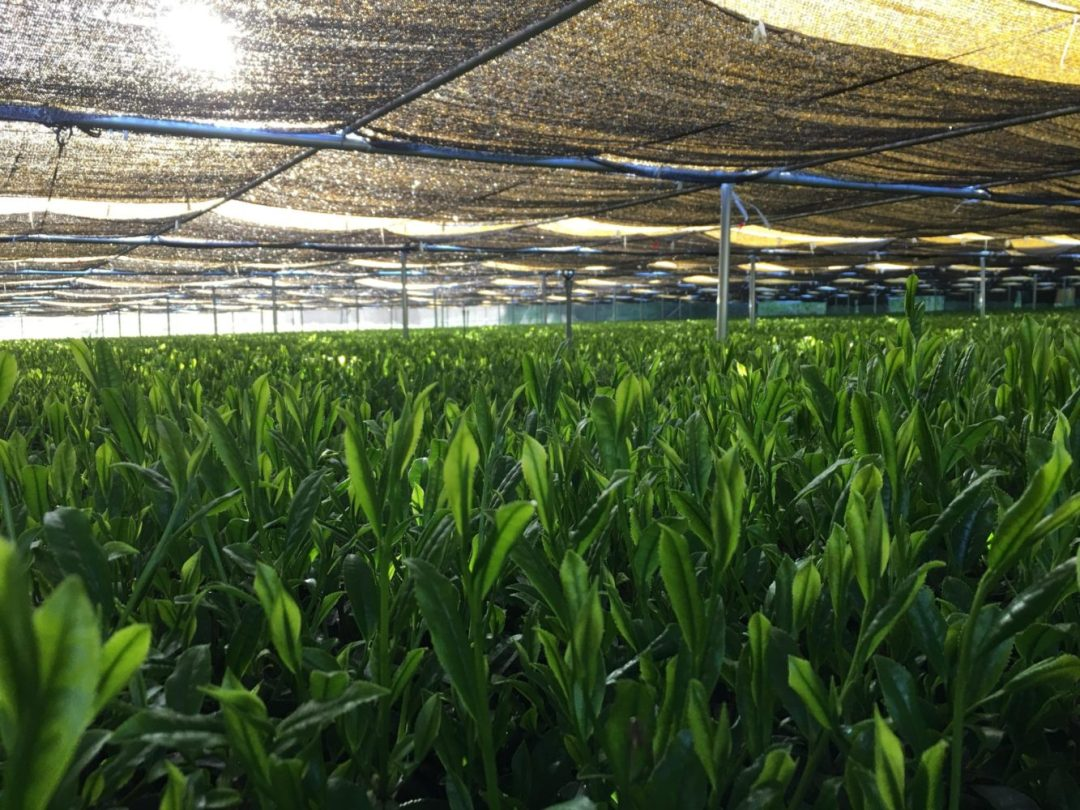 shaded matcha tea field