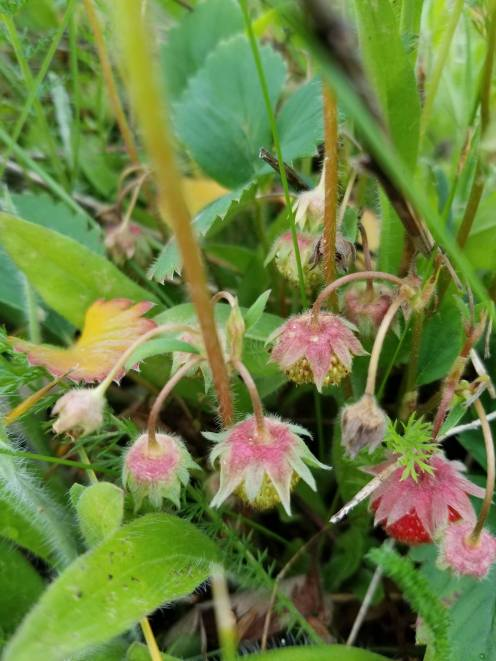 Wild Strawberries are fill all the Northwest facing slopes in the open fields.
