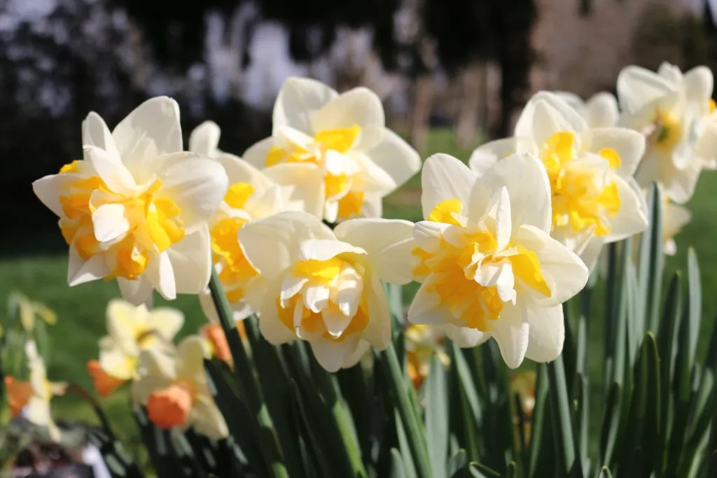 Double Star Narcissus in Yellow and White