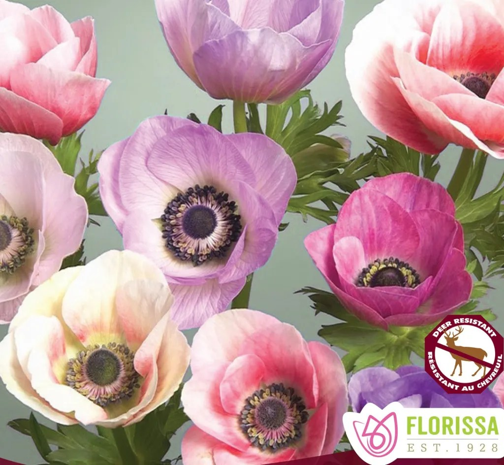 Anemone Caramel Pastel Mix, in multiple colours. Corms are planted in the Fall for early spring blooms. Bloom period is approximately 10 weeks in the spring. Shades of Pink, Purple, Yellow and White.