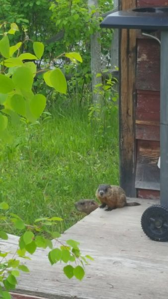 This curious little groundhog comes to greet us everytime we go down to the gazebo.