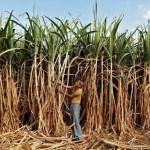 गन्ना किसानों के 3050 करोड़ रुपए हड़प कर गई यूपी की शुगर मिलें
