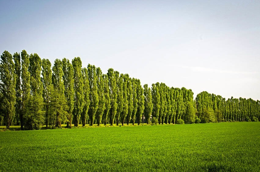 Fluff of poplar trees unlikely to carry COVID-19 virus