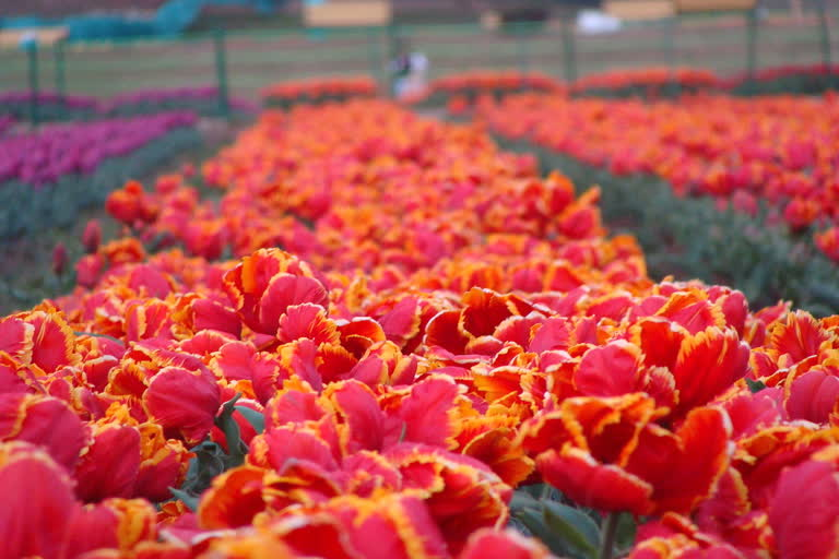 Tulip garden will open for tourists from March 20