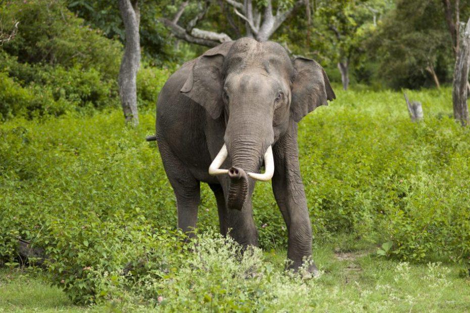 Asian male elephants