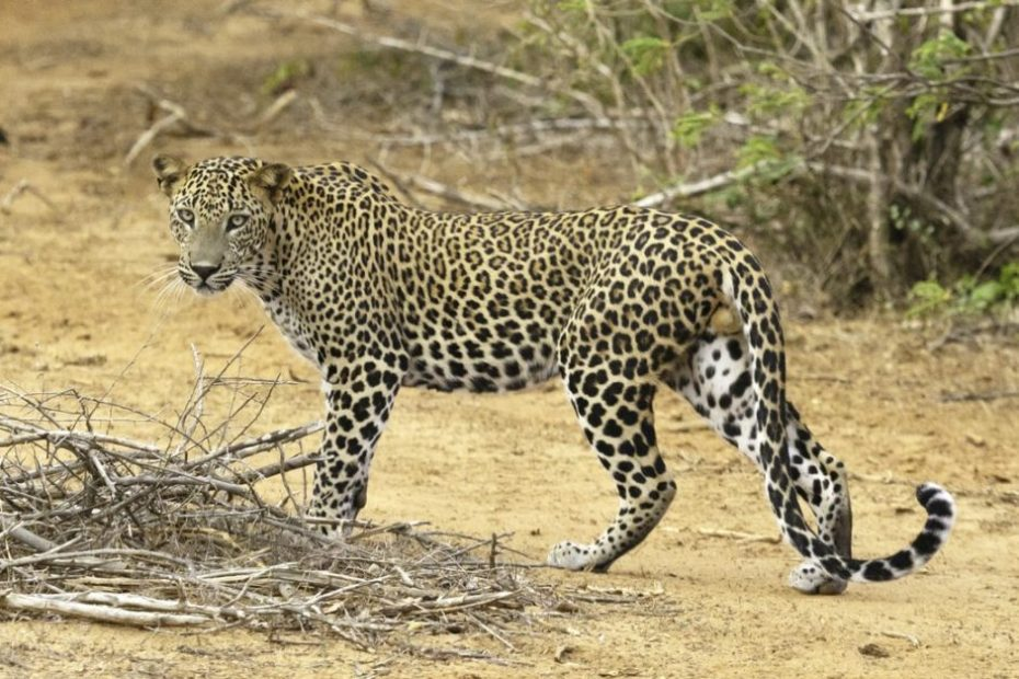 Leopard population in India