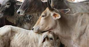 Cow should be declared as national animal