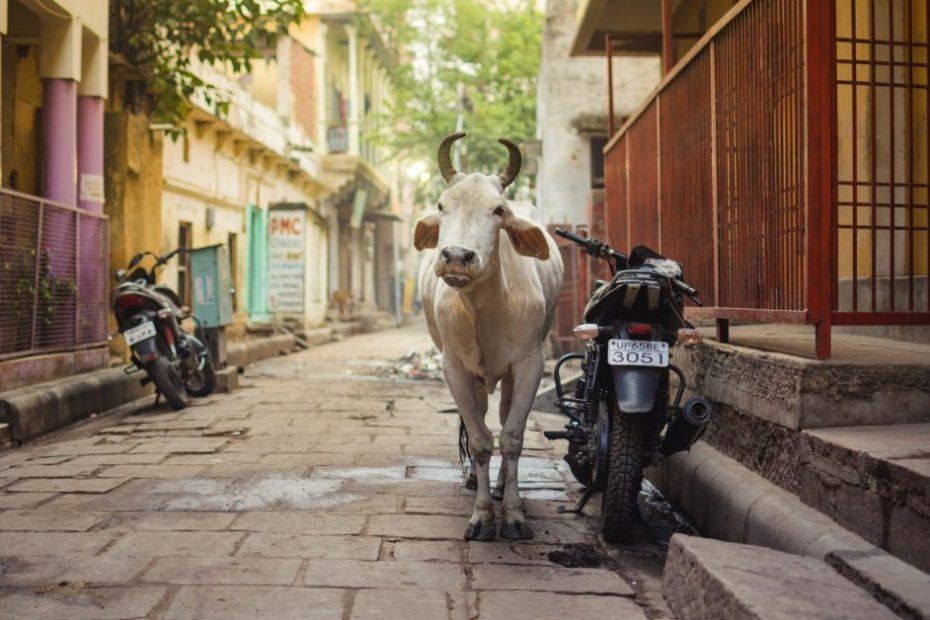 Cow exhales oxygen in India