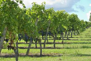 wineries and commercial septic sytems