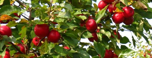 Holistic Apple Scab and Fireblight Control