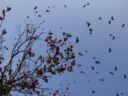 Crows in large number fly over the sky in Jaffna at dusk