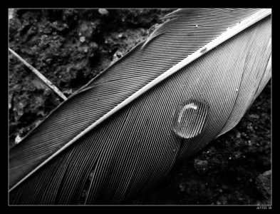 Dropped Feather