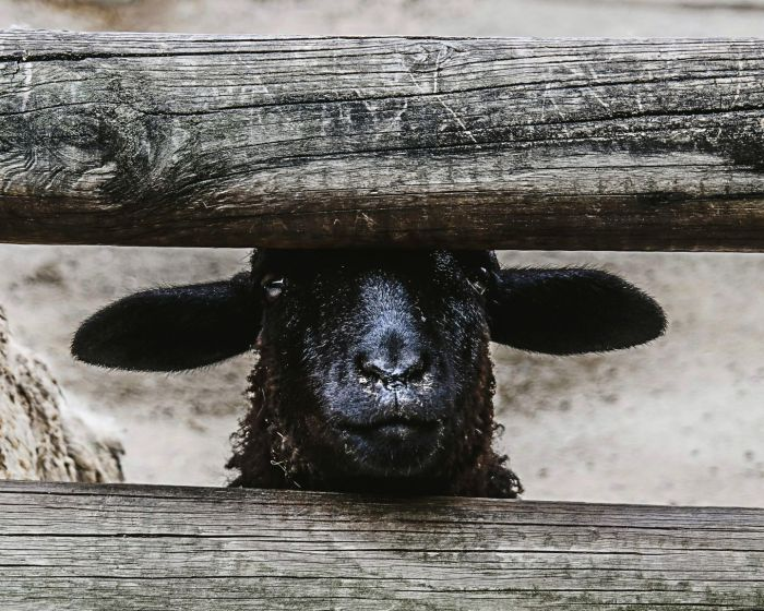 Black-faced sheep looking directly at you between two wooden fence palings