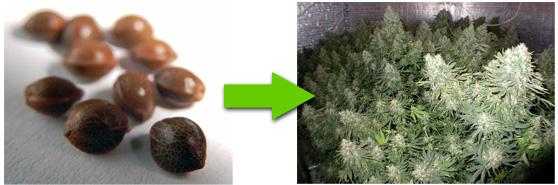 Marijuana Seeds Flowering