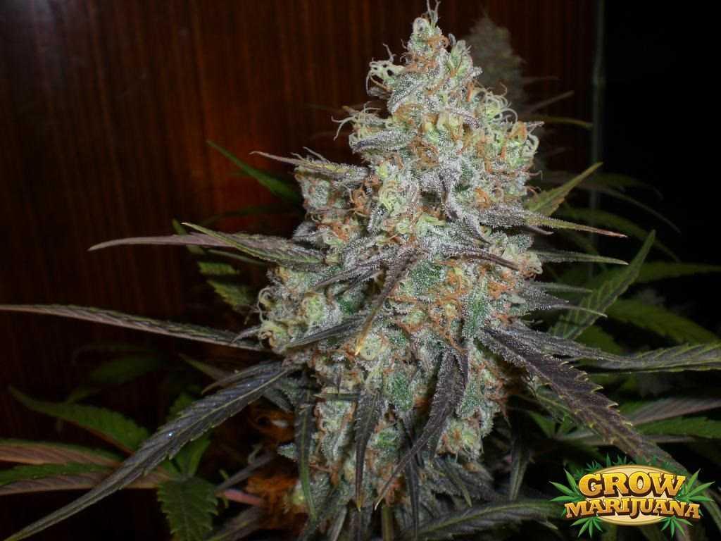 Big Blue Seeds  Strain Review  GrowMarijuanacom