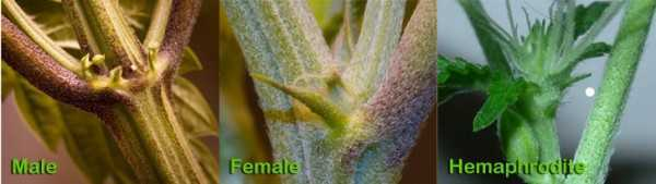 Male Female Cannabis