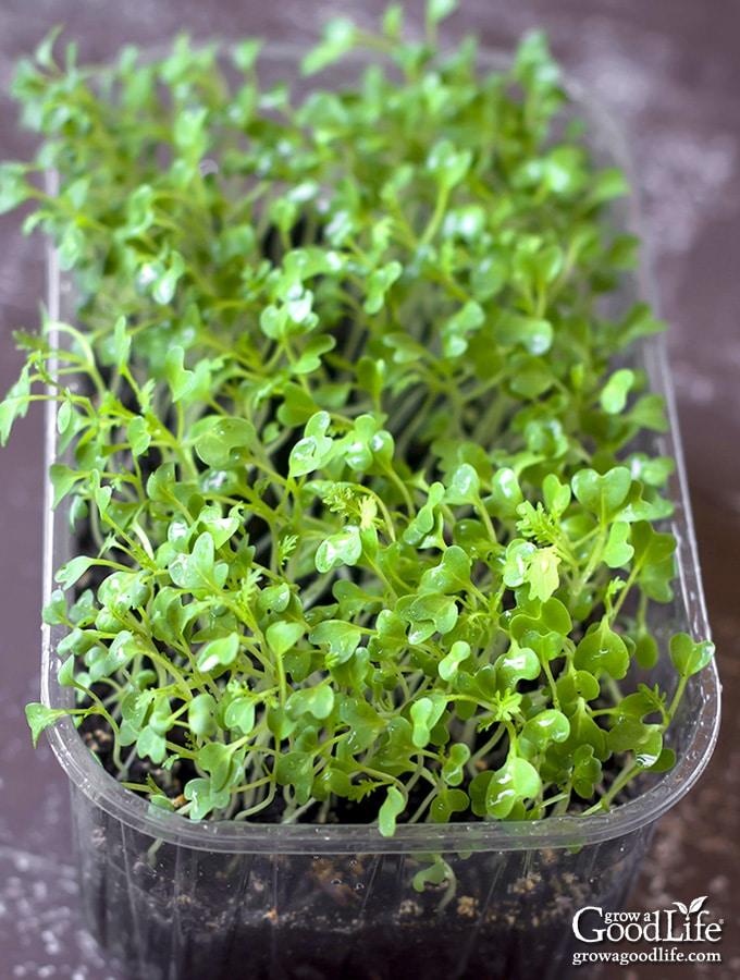 Growing Arugula Indoors : growing, arugula, indoors, Microgreens, Indoors