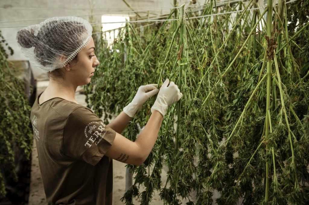 Handpicking cannabis