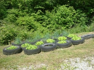 More enginuity! Lettuce growing in tires.
