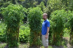 members nice tall tomato plants