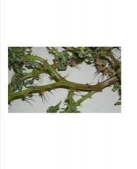 Spiny Pigweed 3