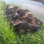 cuddle of ducklings