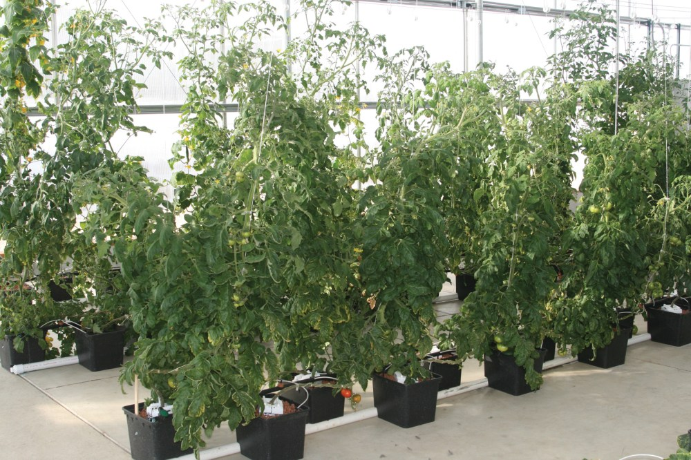 medium resolution of  hydroponic tomato dutch bucket system growers supply