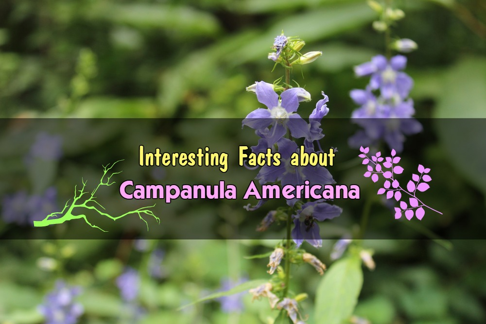 Interesting Facts about Campanula Americana You May not Know