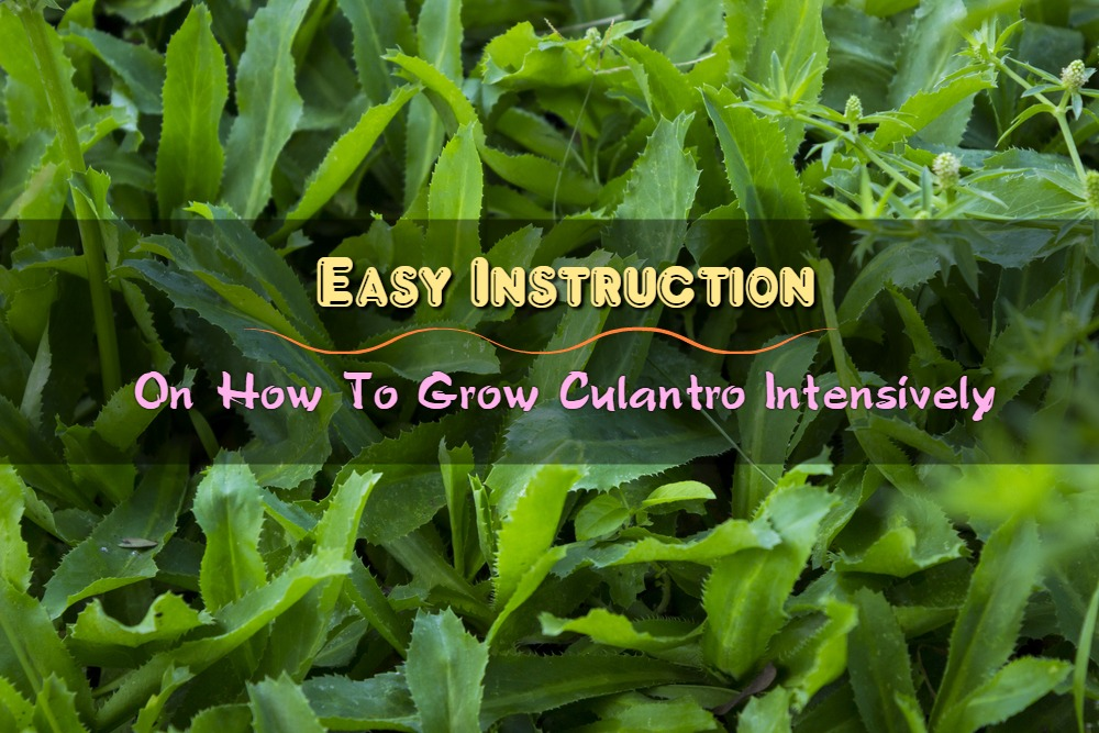 Easy Instruction On How To Grow Culantro Intensively