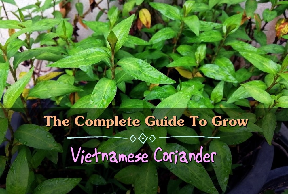 The Complete Guide To Grow Vietnamese Coriander In Your Garden