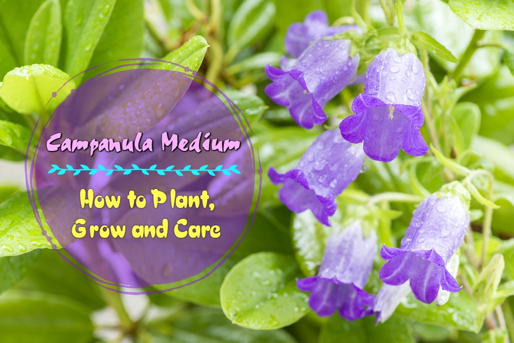 Campanula Medium (Canterbury Bells): How to Plant, Grow and Care