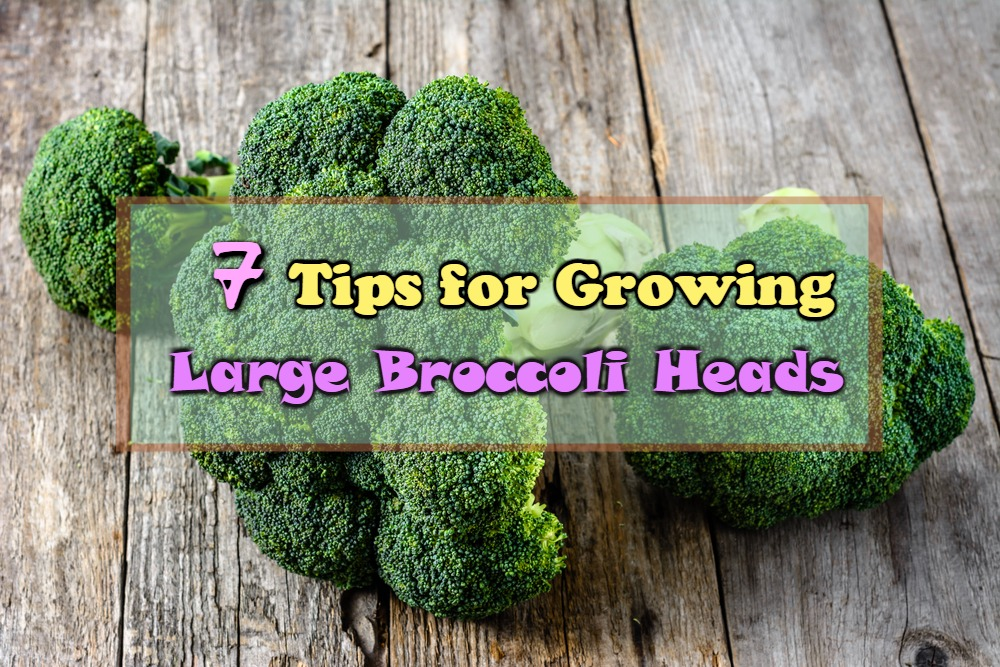 7 Tips for Growing Large Broccoli Heads
