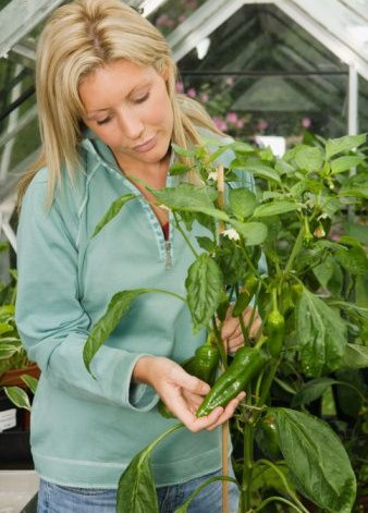 Hydroponic Nutrient and Growing Chillies: A Great Combination